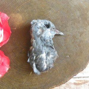 No. 20 Taxidermy Mummified Pigeon Head